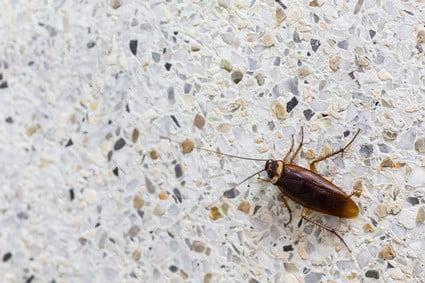 cockroach lifespan