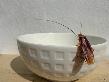 how long do cockroaches live?