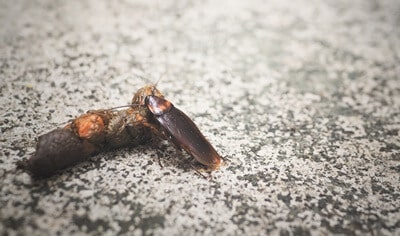 are cockroaches attracted to poop?
