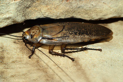 can cockroaches get through small holes?