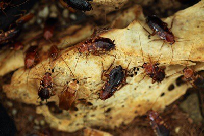 how fast do roaches spread?