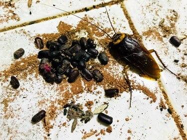 how many eggs do cockroaches lay?