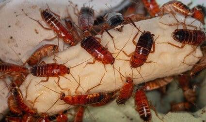 how often do cockroaches lay eggs?