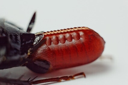 how long is a cockroach pregnant?