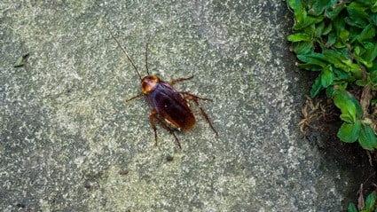 where do roaches live outside?