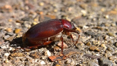 why do outside roaches come inside?