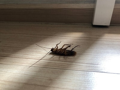 why do cockroaches die in my house?